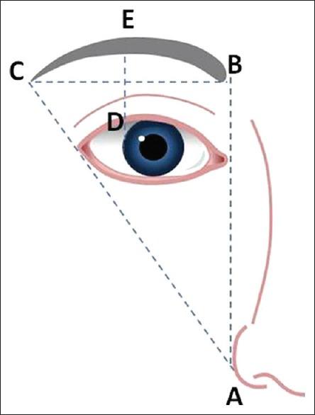 植眉眉型比例